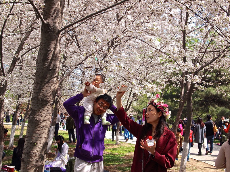 where to see cherry blossom in Beijing