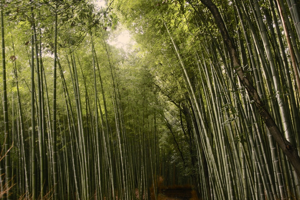 Bamboo in Kyoto